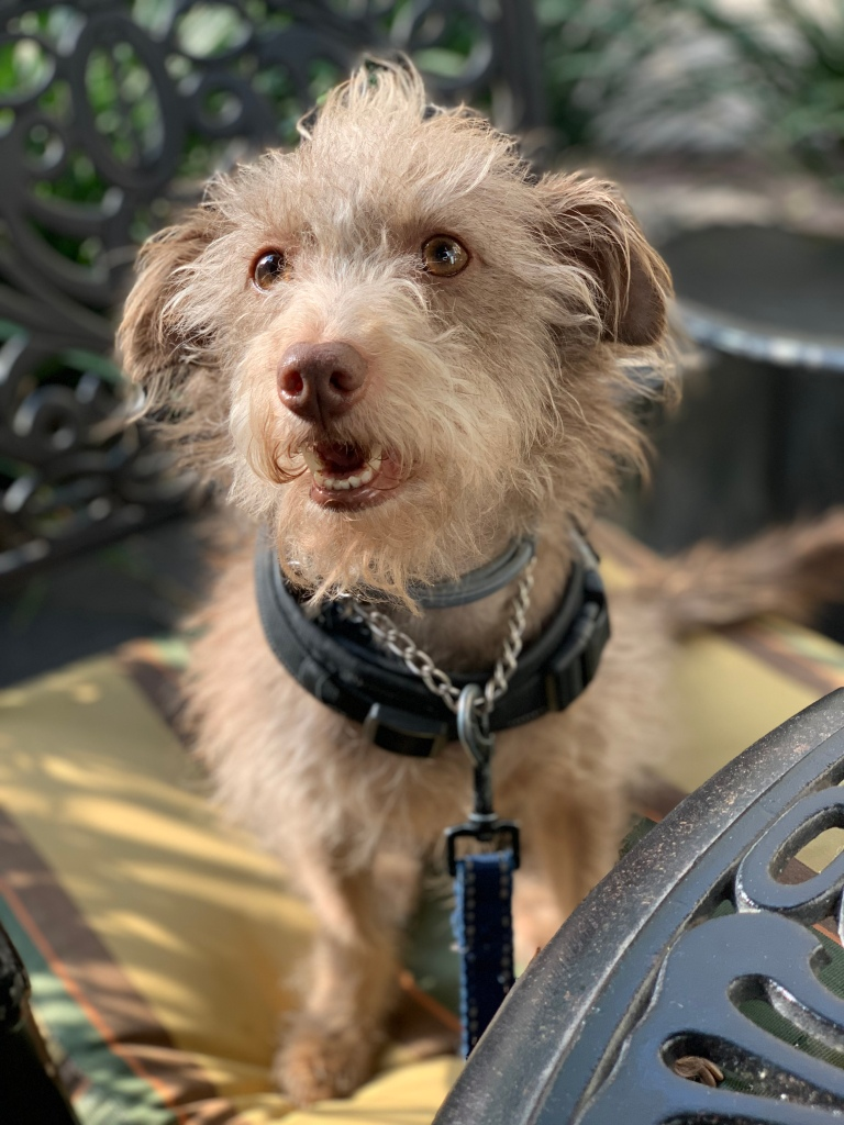 Photo of small wire hair dog wearing a service dog vest and sitting in a chair.